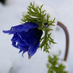 BLoom-in-snow.jpg