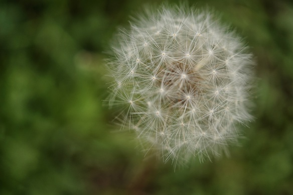 Multiply: Dandelion — Kenneth Spencer CC BY-NC-SA 2.0